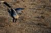 Secretarybird (Sagittarius serpentarius) by Duncan Wallace