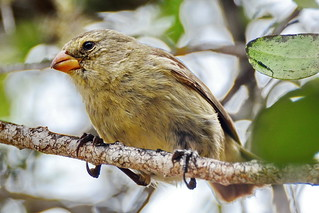 Малый древесный вьюрок, Camarhynchus parvulus parvulus, Small Tree-Finch | by Oleg Nomad
