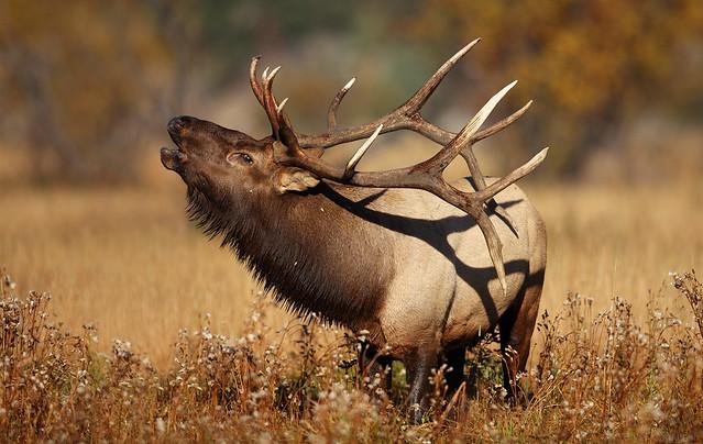 Bull Elk Singing, Rocky Mountain National Park