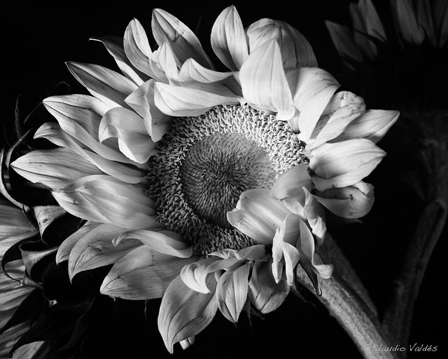 - Sunflower Chiaroscuro -
