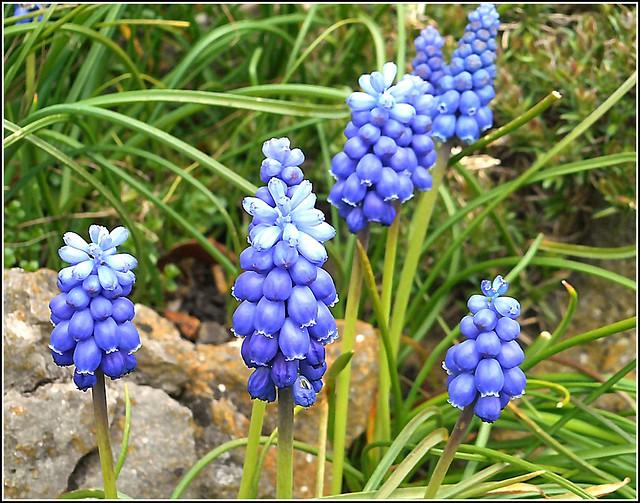 Grape Hyacinth ( Muscari )