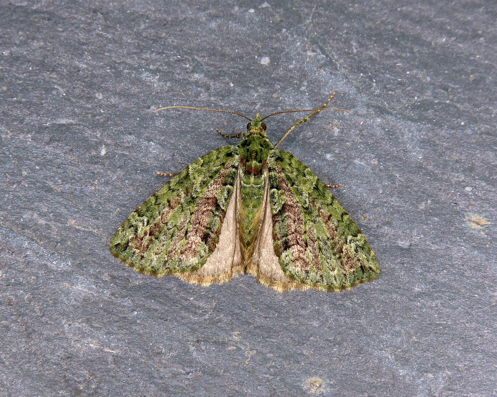 70.095 Red-green Carpet - Chloroclysta siterata