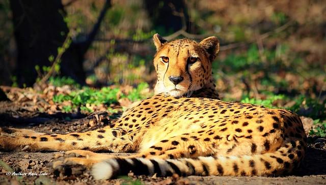 Cheetah  (Acinonyx jubatus), Gepárd - Ο Γατόπαρδος