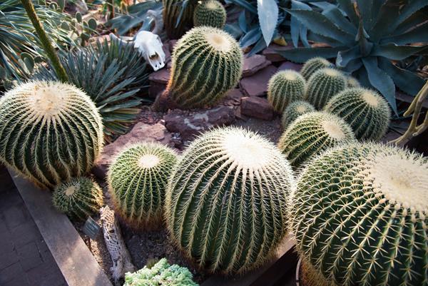 cactuses ny