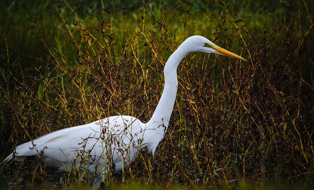 Egret in the Ditch