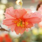 Begonia SP.  ベゴニア 詳細不明