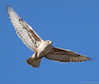 Ferruginous Hawk by Ceredig Roberts