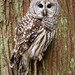 Barred Owl by Taylor Ann Green