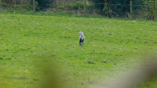 Heron in grassy field, Pendeford Mill