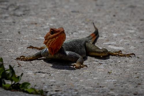 red nature wildlife outdoor animal reptile reptilian lizard redhead agama melbourne florida fl animalplanet