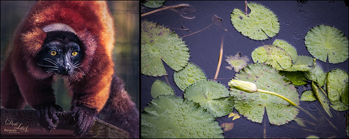 Tych of Lily Pads and Red Ruffed Lemur