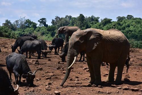 kenya wild africanbuffalo mammals bushelephant aberdarenationalpark