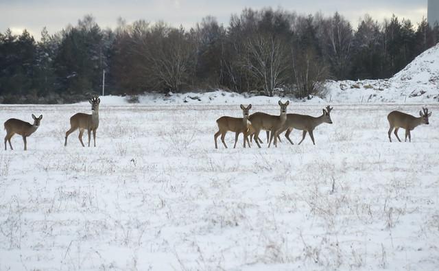 Metskitsed / Roe Deer
