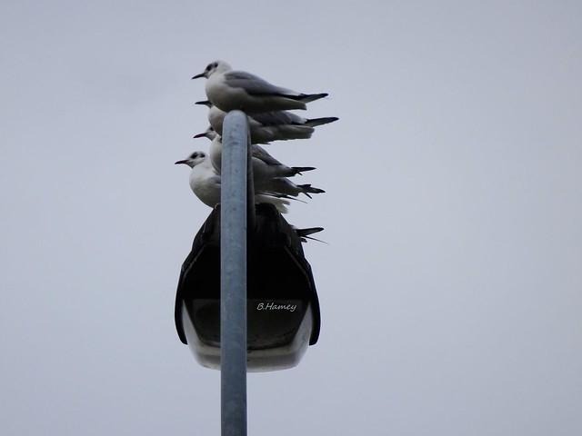 Quatre mouettes sur un lampadaire......
