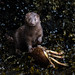 American Mink with Dungeness Crab by Taylor Ann Green