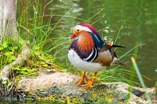 pato mandarín / mandarin duck
