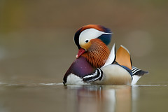 Mandarin Duck - Mandarinente