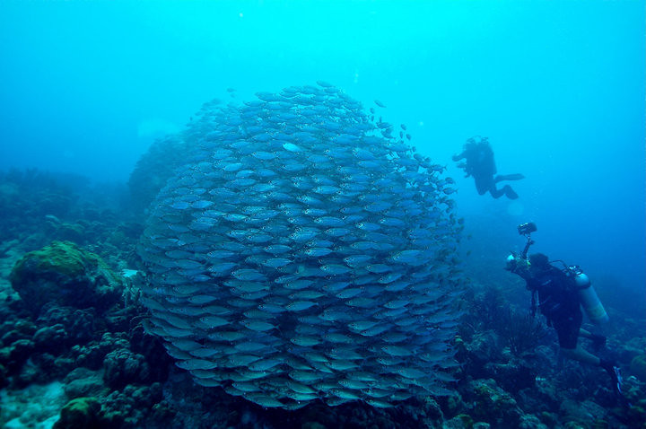 Bonaire bait ball
