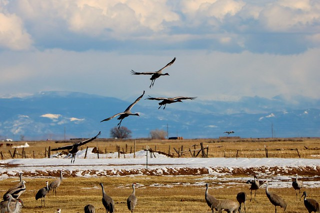 Sandhill Cranes Monte Vista Wildlife Refuge Colorado #sandhillcranes #colorado