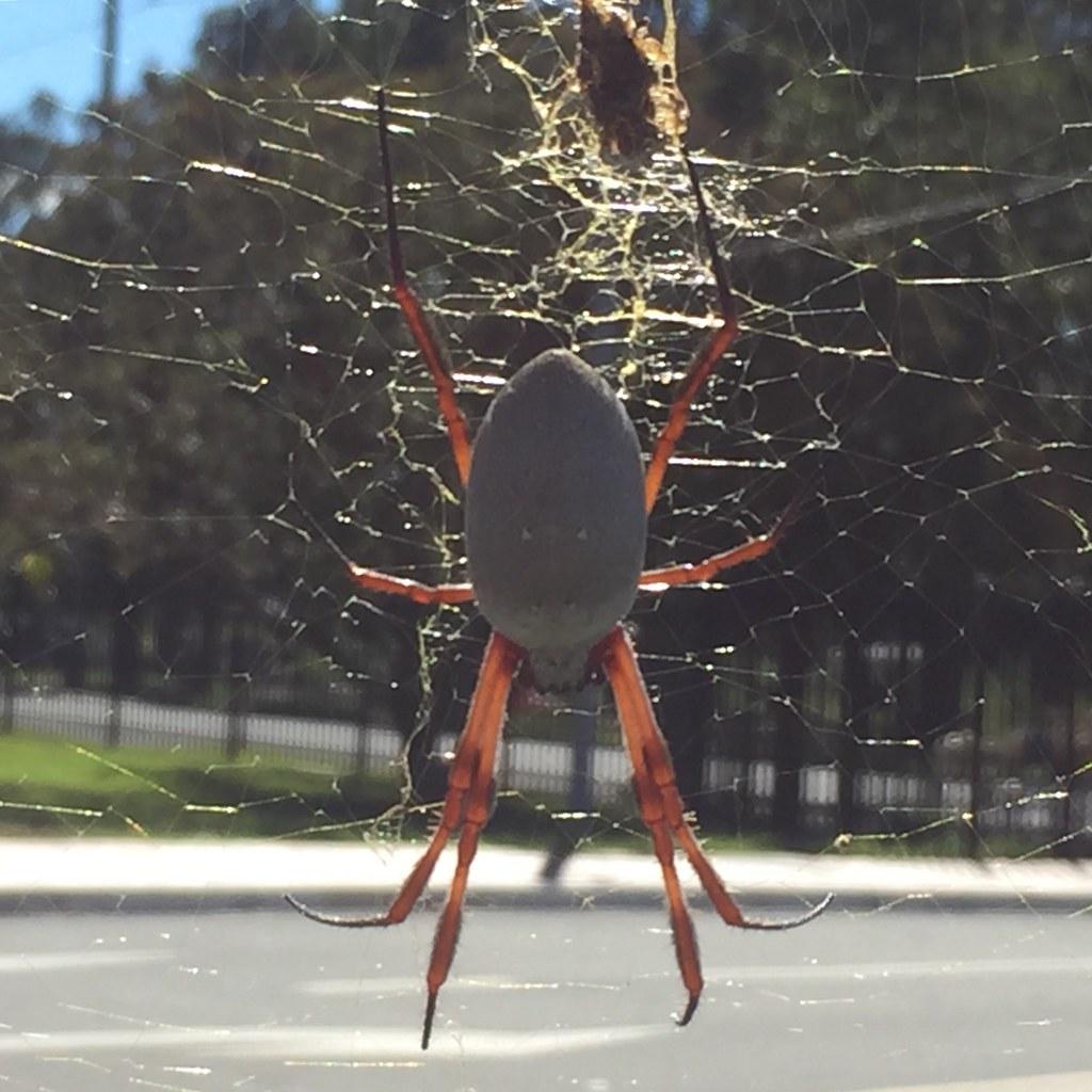 A lovely lady. Golden orb-weaver spider, Kingswood NSW.