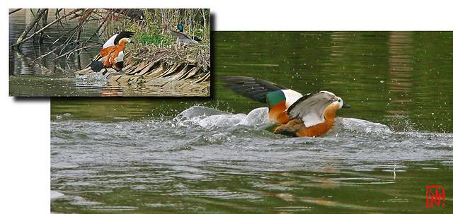 Coup de gueule :  Un Tadorne casarca avec une aile rognée !