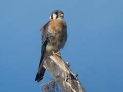 American Kestrel, Fort Zachary Taylor S.P., Key West, Florida 3/14/2019