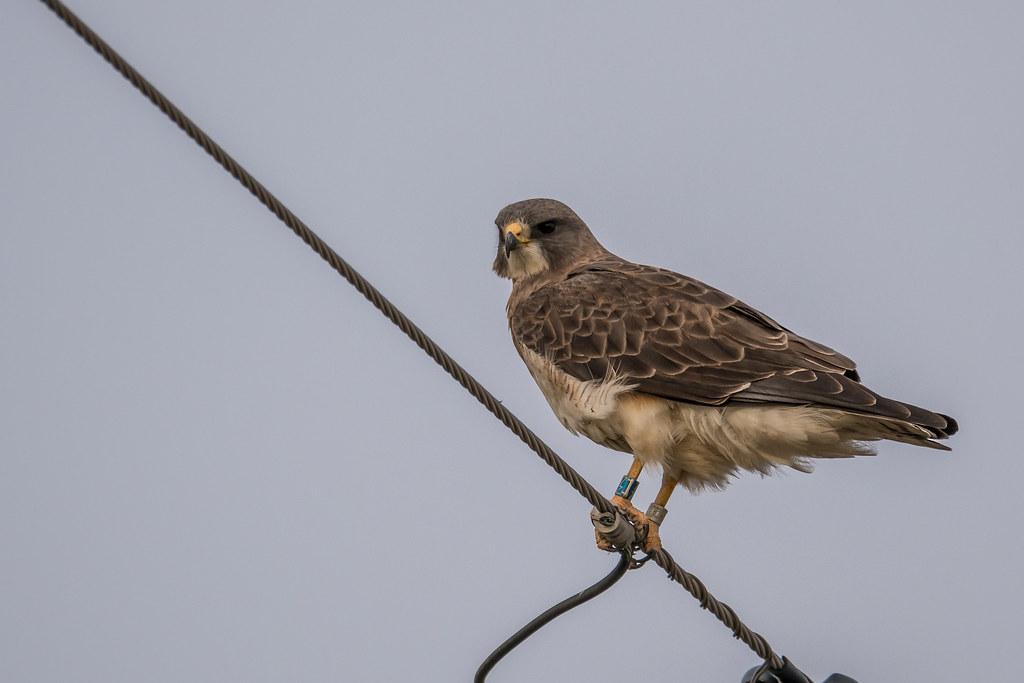 Peregrin Falcon for flicker-1