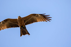 Black kite - Milvus migrans-1