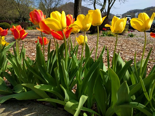 ohio ohiorestarea restarea flowers blooms tulips