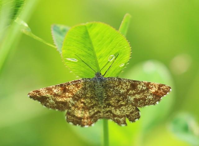 Common Heath / gewone heispanner