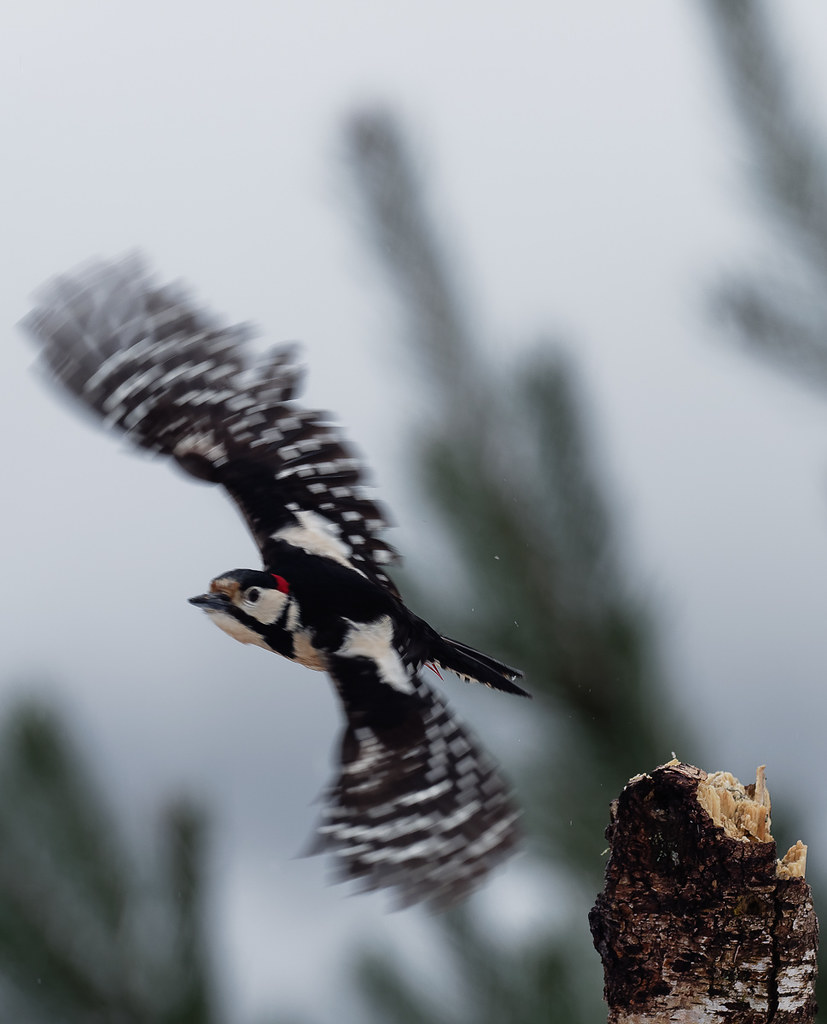 Greater Spotted Woodpecker1