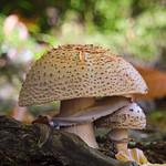 So, 15.10.17 - 14:20 - Pilze, Paar, Beschützt, Nähe, Nahaufnahme, close up, mushrooms, closeness, Olympus PEN-F, m.zuiko 17mm, m.zuiko 40-150mm + TC
