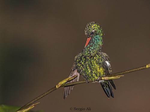 Picaflor común (Chlorostilbon lucidus) macho