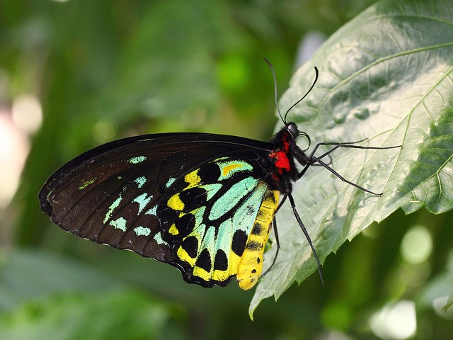 Female Great Mormom Butterfly