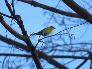 Pine warbler at Leaser Lake side view