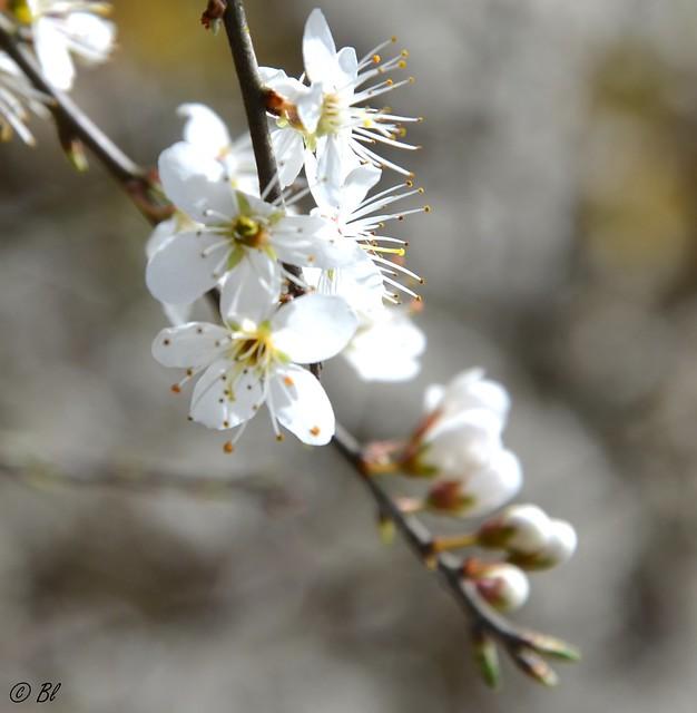 Petite messagère du printemps