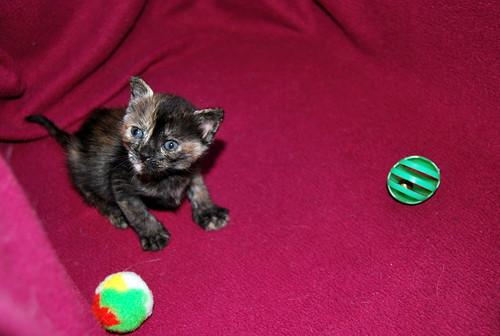 Narubi, gatita carey de cara bicolor amorosa esterilizada, nacida en Marzo´19, en adopción. Valencia RESERVADA. 40633437983_72de38c068