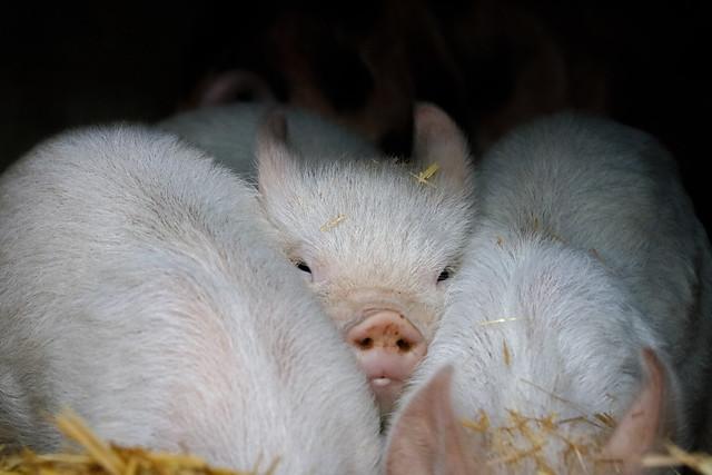 piglet in blankets