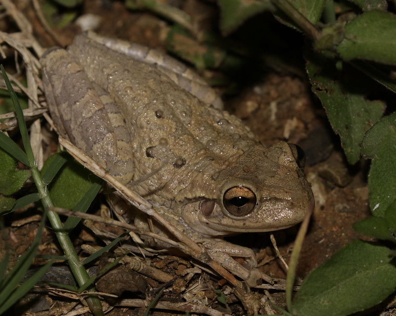 Frog sp. Ascanio_Cuba 199A5971