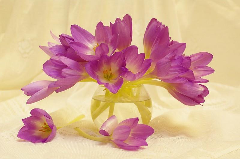 Обои осень, радость, цветы, природа, красота, растения, крокусы, букетик, сиреневый цвет, сентябрь, множество, композиция, флора, луковичные, безвременник картинки на рабочий стол, раздел цветы - скачать