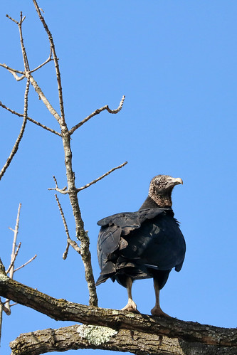 The Black Vulture | by curious_spider