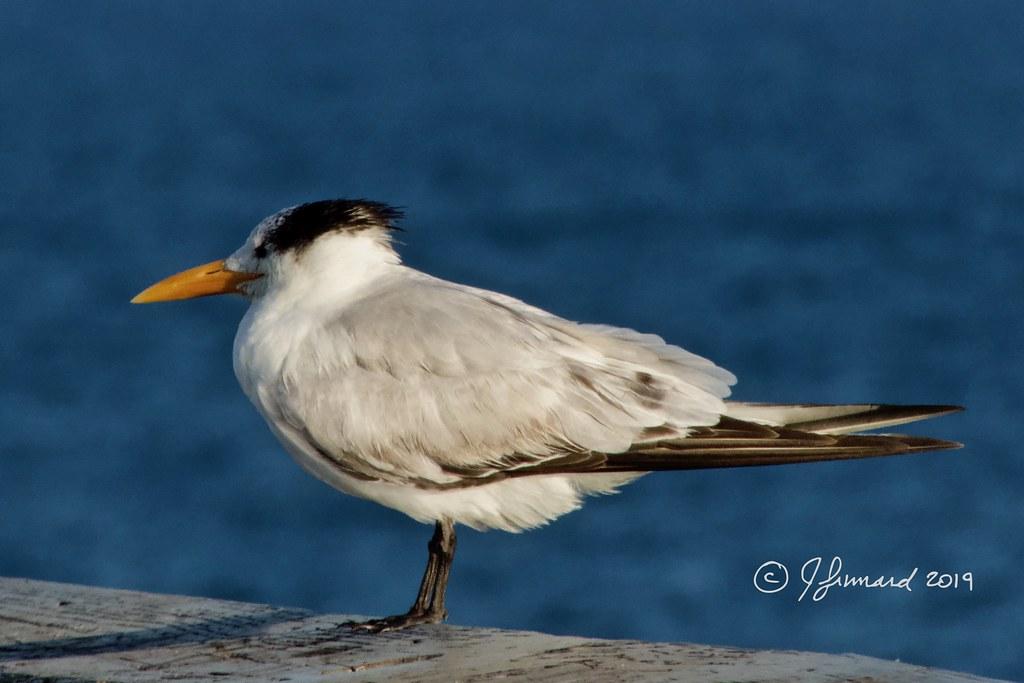 Royal Tern nonbreeding Adult (Sterna maxima) On Deerfield Beach Pier