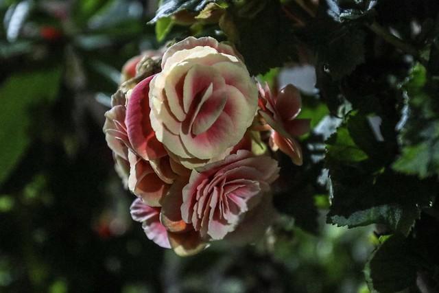 Flowers (camellia)