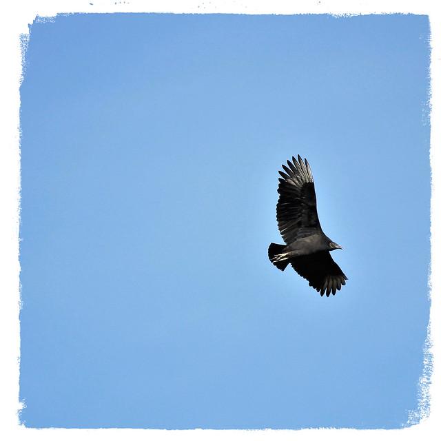 Conowingo Dam ~ buzzard flight