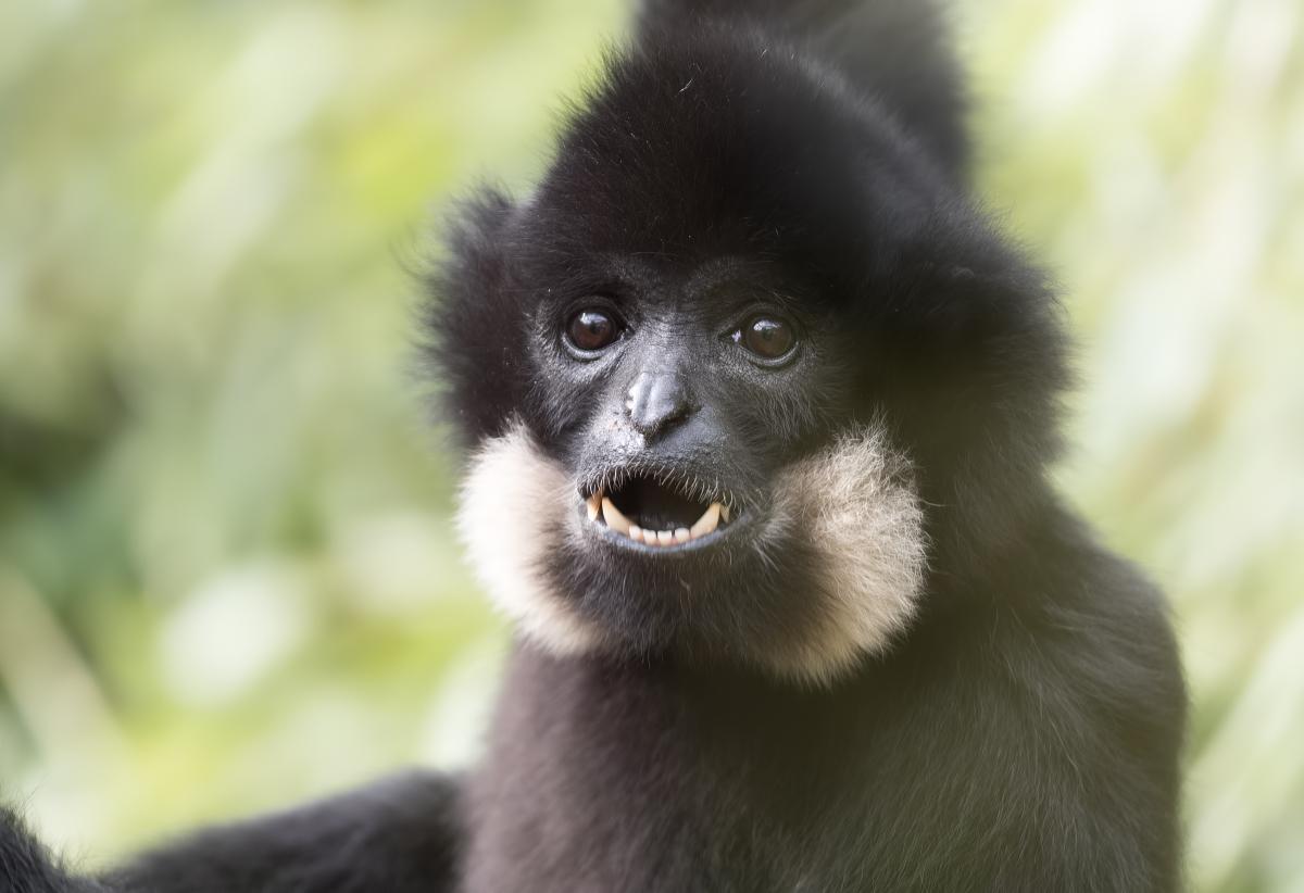 Gibbon 46849629724_fc6d8c13f8_o