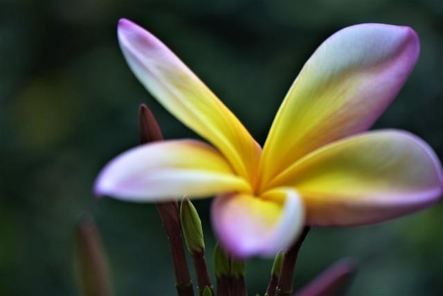 Plumeria Rubra -