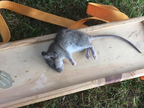 Dode rat in de kast.