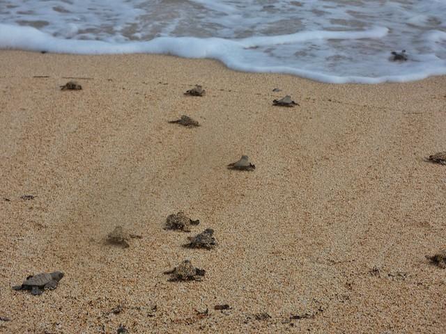 Crías de tortugas marinas dirigiéndose al océano (Santo Tomé y Príncipe)