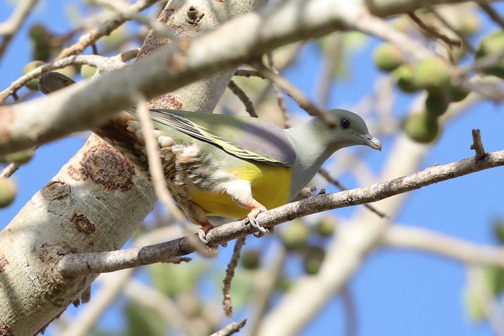 Bruce's Green-pigeon  Treron waalia