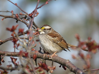 White-throated Sparrow | by mggoodwin56